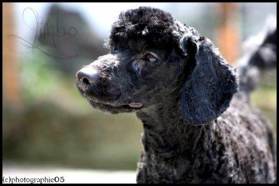 mon chien chien Caniche + jardin