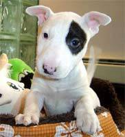 Mini Bull Terrier If For You The Hip Hop It S A Fashion For Me