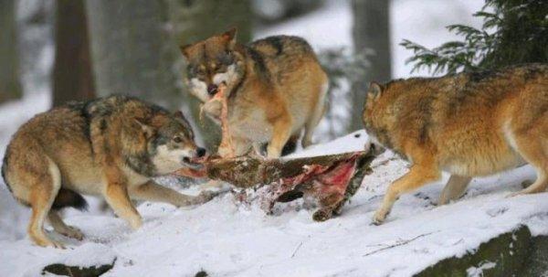 Avoir une faim de loup