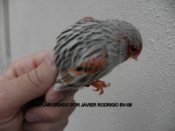 MACHO AGATA PORTADOR DE PASTEL 51-2012