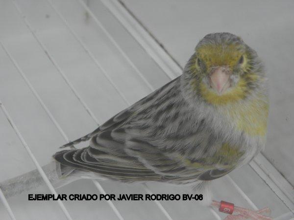 MACHO AGATA AMARILLO PORTADOR DE EUMO 79-2012
