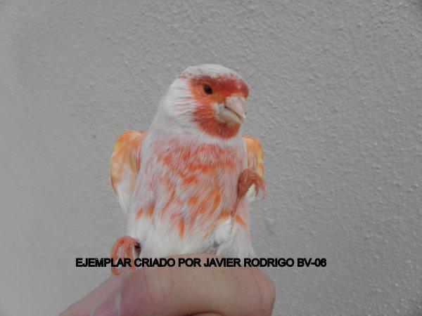 MACHO SATINE ROJO MOSAICO 132-2012 60¤