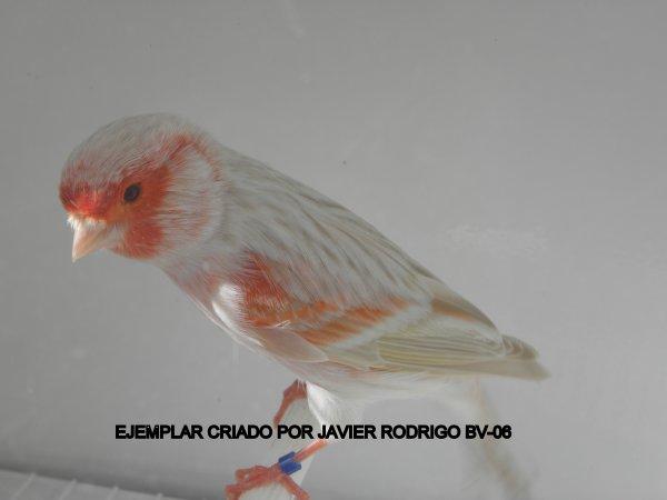 MACHO SATINE ROJO MOSAICO 71-2012 60¤