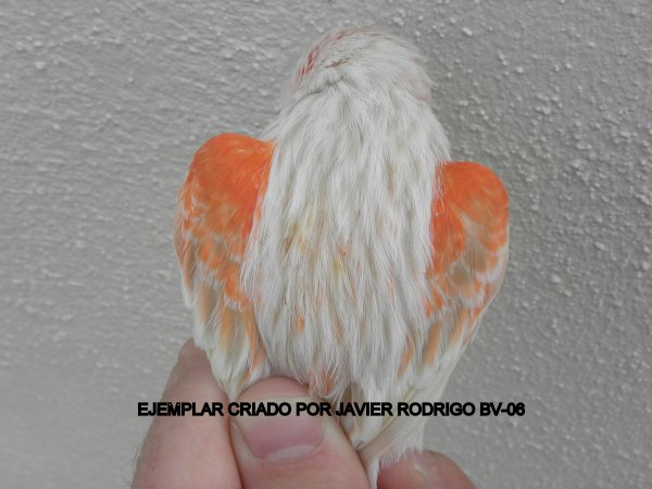 MACHO SATINE ROJO MOSAICO 97-2012 60¤