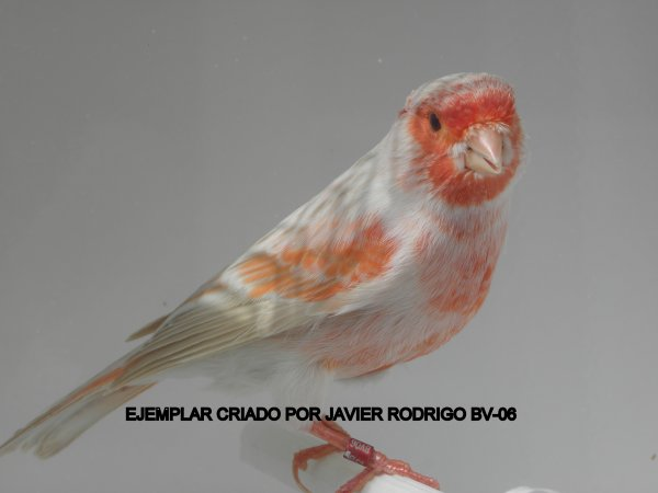 MACHO SATINE ROJO MOSAICO 39-2012 60¤