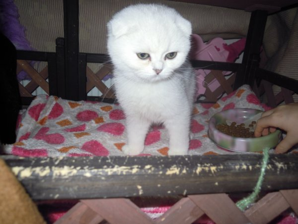 idylle scottish fold femelle black silver shaded