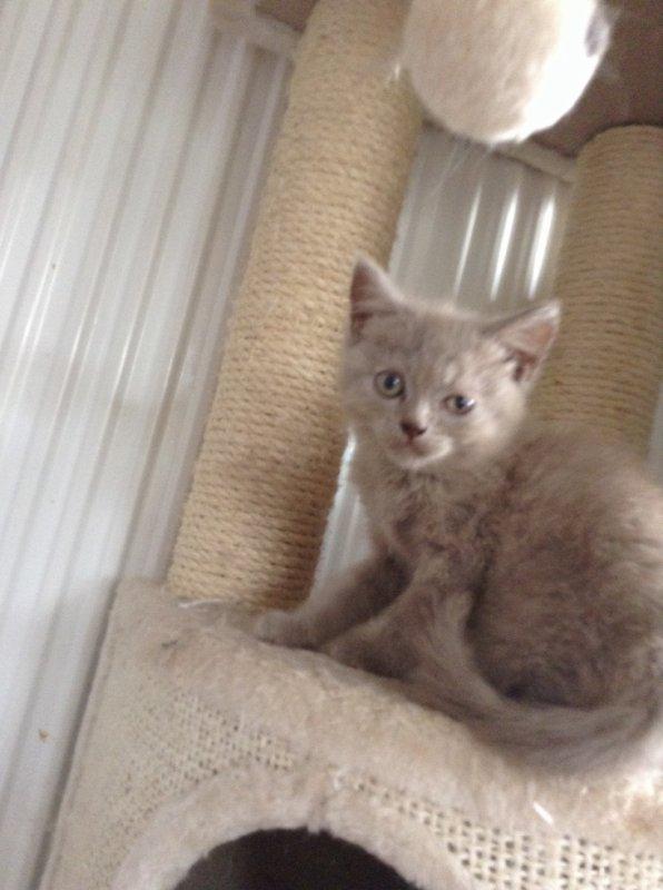 Jobard chaton mâle lilac a réserver pour novembre