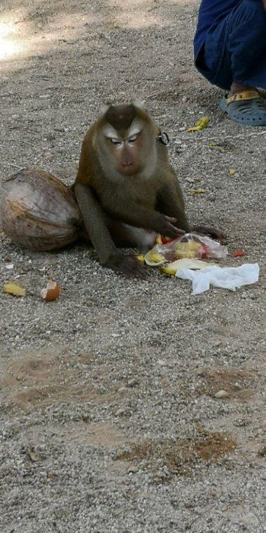 La récolte des noix de coco