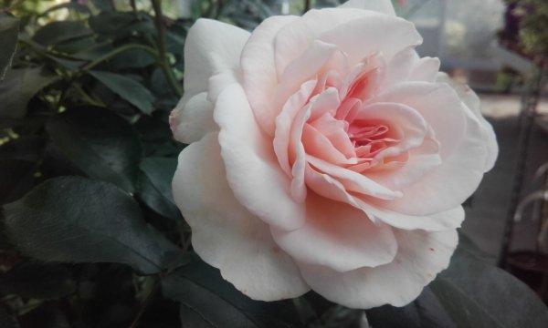 les femmes s'est comme les rose s'est joli mais qui si frotte si pique XD