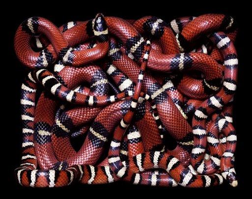 .....Le serpent......