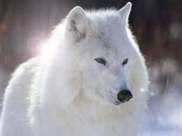 Les Loups Blanc