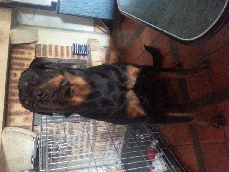 Irko mon.beau goss de 16 mois rottweiler