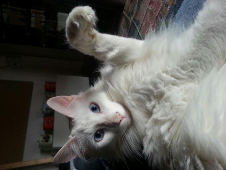 Yko angora turc de 19 mois