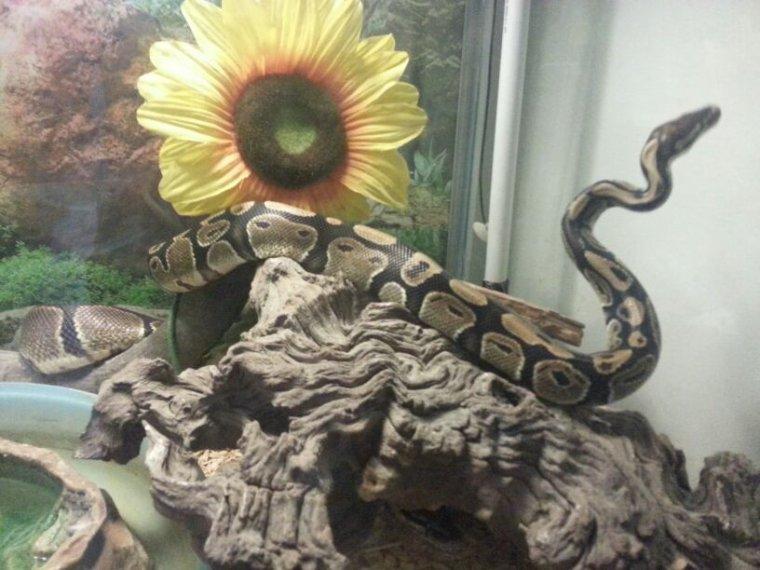 Mes 2 pythons
