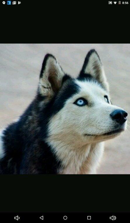 Le husky ! =3