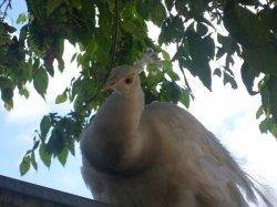 le paon blanc