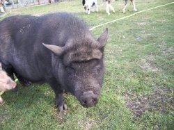 une question sur les cochons