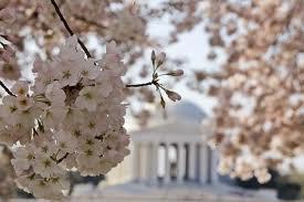 Les cerisiers tiennent la couleur de leurs fruits grâce au sang des cadavres qu'il y a sous son tronc....