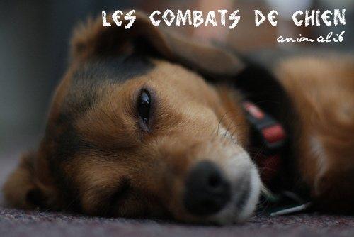 les combats de chien