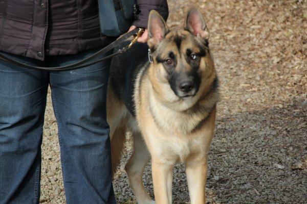 Max berger allemand croiser husky 8 mois et demi