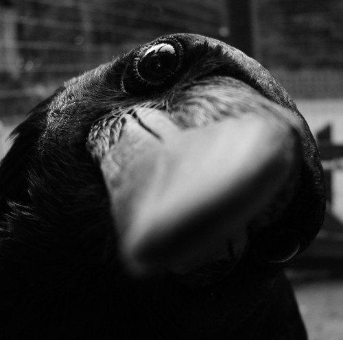 the crow !!!