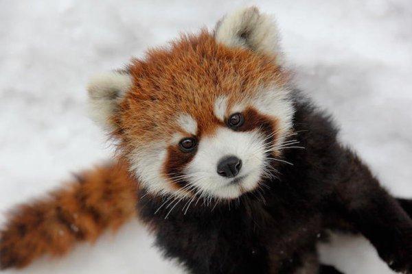 Je ne suis qu'un petit panda roux innocent *-*