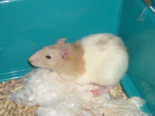 Mes petit rats: Loupiot, Gorgo et Guimauve