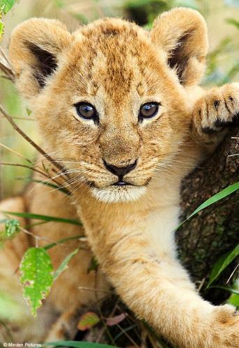 B b lion bienvenue sur mon blog - Images de lions a imprimer ...