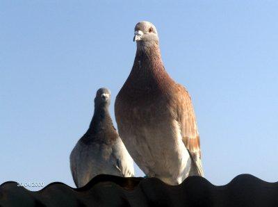résultats pigeons saint just du 12/04 ( les un ans )