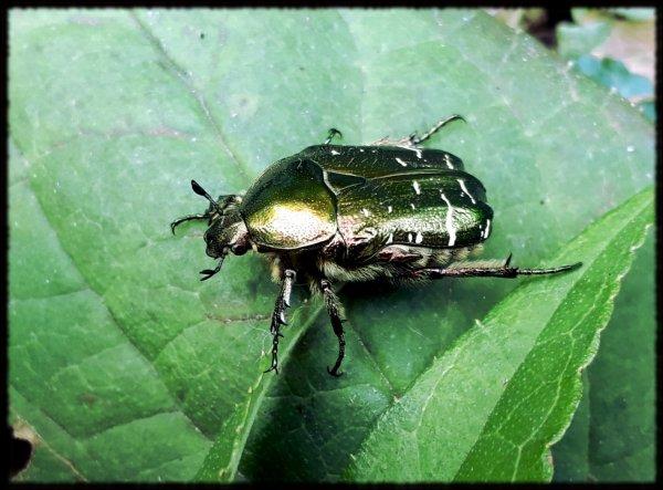 Petit scarabée.