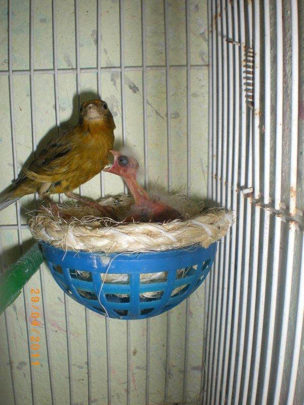 femelle chopé au nid mdr