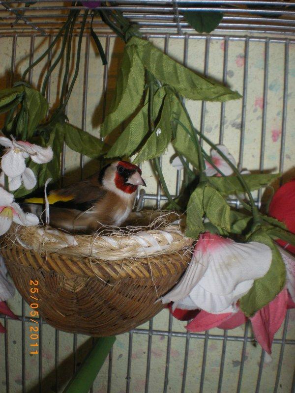mâle chardonneret en train de contrôlé le nid  lool
