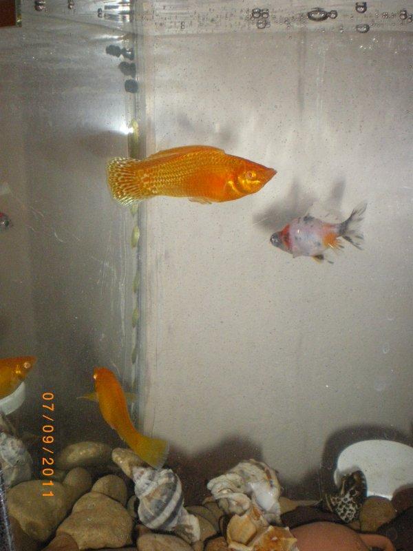 mes velifera  poecilia j'aime trop ses poisson