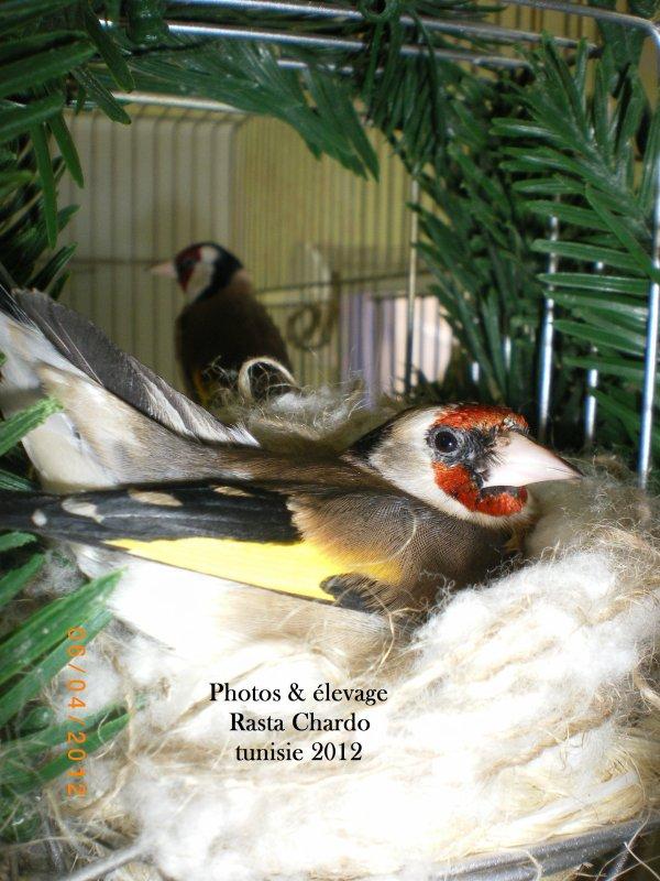 femelle de l'année mon propre élevage 2012 avec 5 oeuf