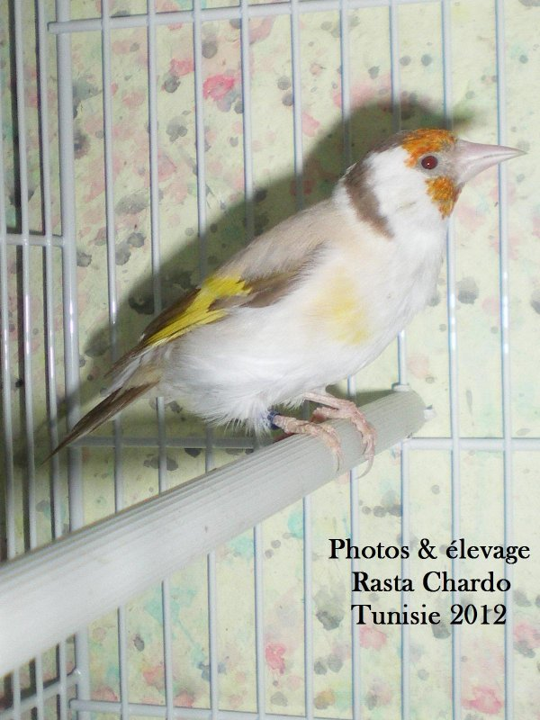 femelle chardonneret mutation isabel