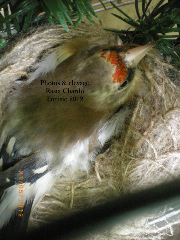 Femelle Himalaya au nid
