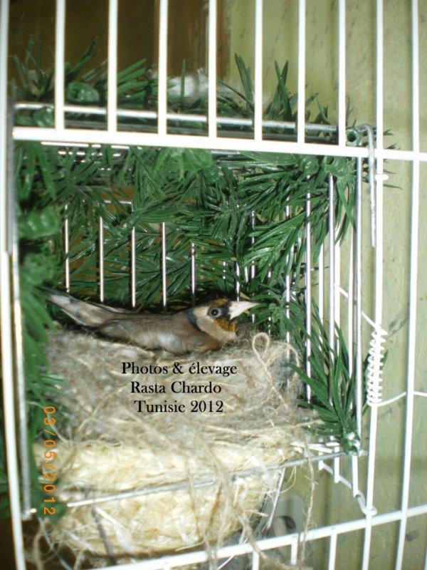 femelle de l'année mon propre élevage 2009