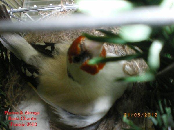 Femelle Eumo au nid