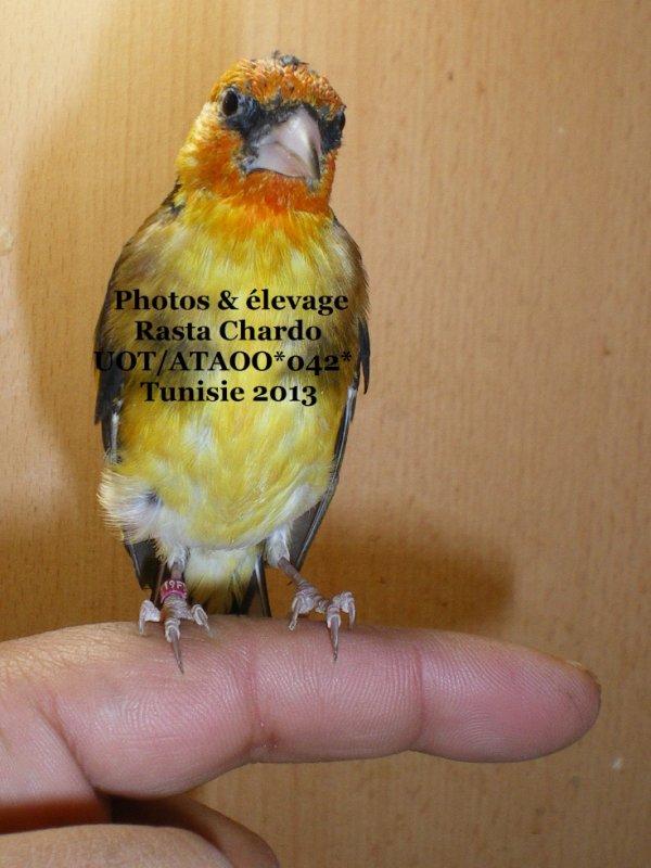jaune double porteur  brun - agate