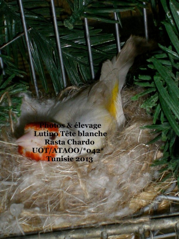 Femelle lutino tête blanche qui couve premier tour ( 5oeufs)