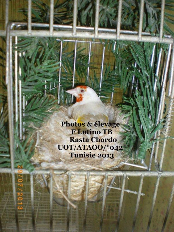 Femelle lutino tête blanche  (3èm tour ) 5 oeufs
