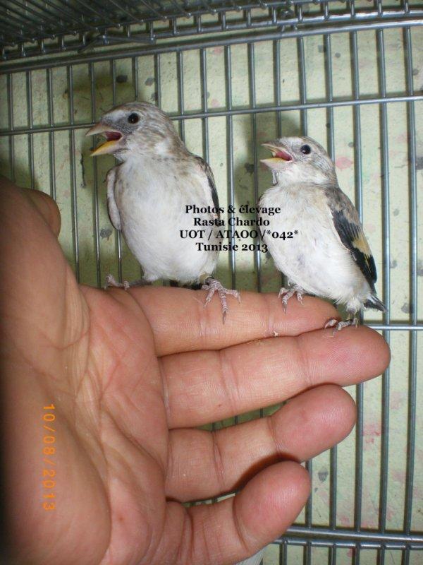 bonjour  :)  deux jeunes normalement femelle classic a droite est un mâle / lutino /Tb