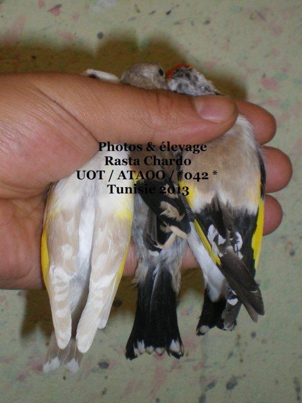 Trois femelles de l'année a gauche Lutino - classic /tb - agate