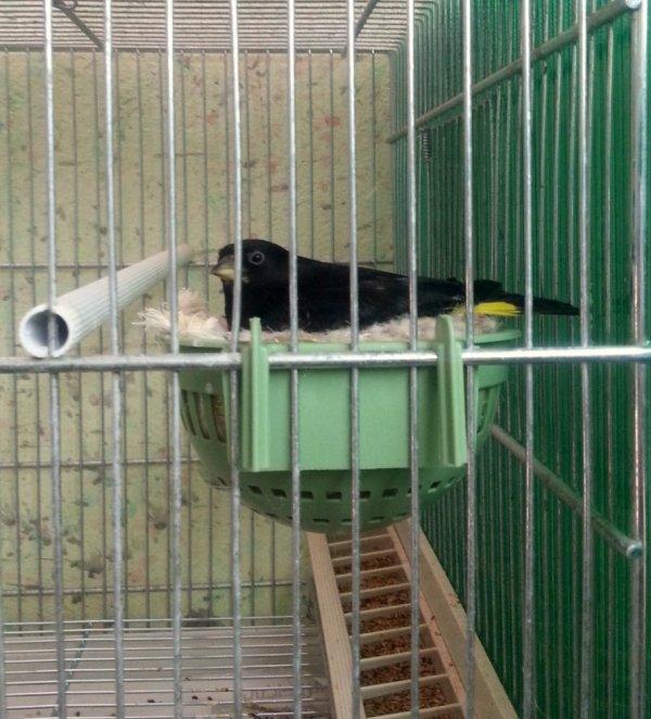 black siskin , carduelis atrata (tarin noir de bolivie )