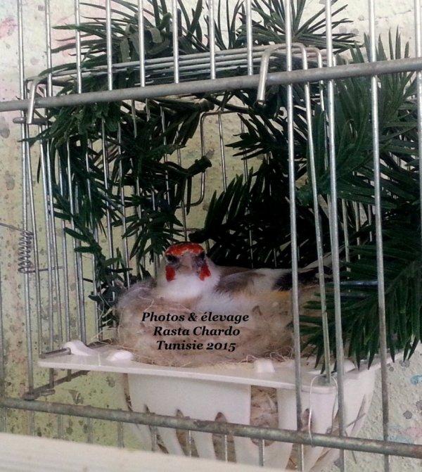 Chardonneret gorge blanche
