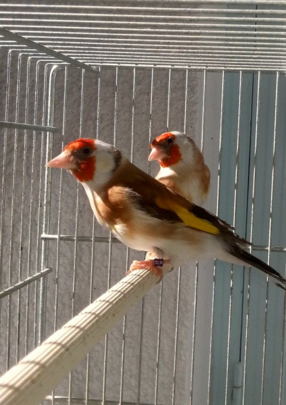 deux mâles brun / satiné