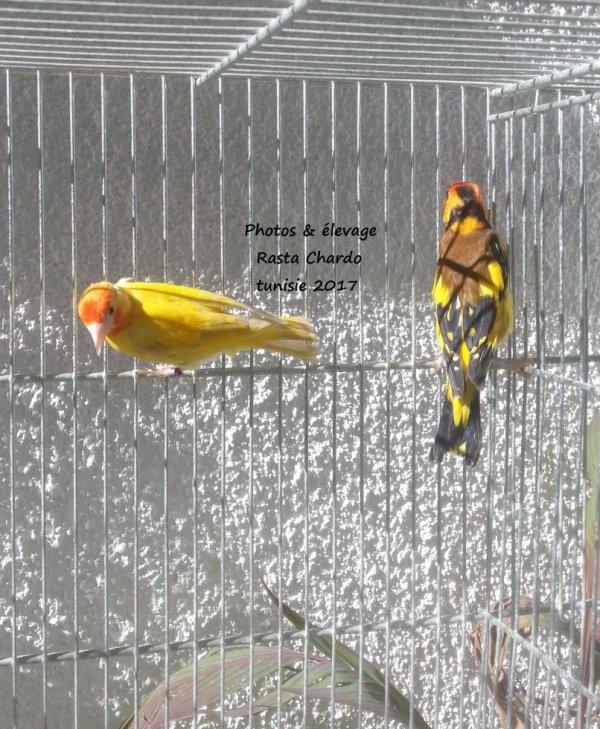 lutino jaune & classic jaune (SF)
