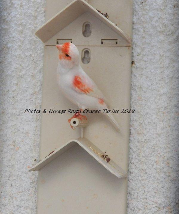 femelle lipo rouge mosaique (T2)