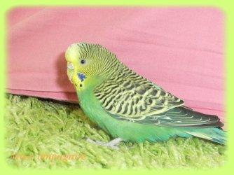 Une Petite Perruche Ondulée Verte