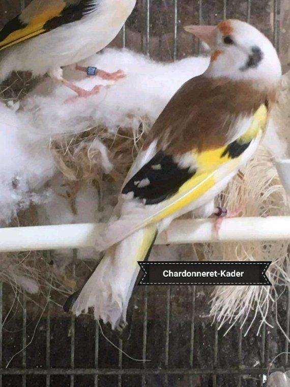 Mâle Panaché/Tête d'aigle